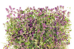 Thyme flower herb (Oregano) Royalty Free Stock Photography