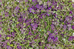 Thyme flower herb (Oregano) background Stock Photos