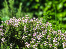 Thyme. Flowering thyme against a blurred background of foliage Stock Photography