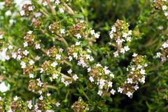 Thyme flowers Royalty Free Stock Photo