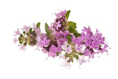 Thyme flowers Stock Images