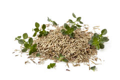 Thyme Fresh and Dried Isolated on White Stock Images