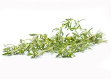 Thyme fresh herb. Isolated on white background stock image