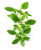 Thyme fresh herb isolated Stock Image