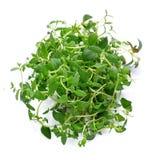 Thyme fresh herb isolated . Thyme fresh herb isolated on white background stock photography