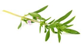 Thyme fresh herb on white background Royalty Free Stock Photo