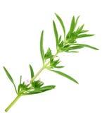 Thyme fresh herb on white background Stock Photos