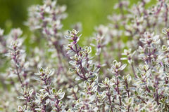 Thyme in the garden Stock Photography