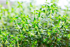 Thyme green leaves close up Royalty Free Stock Photography