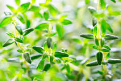 Thyme green leaves close up Stock Photography