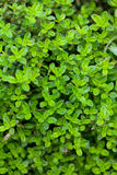Thyme growing Stock Photography