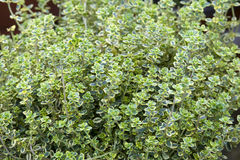 Thyme growing full frame Stock Images