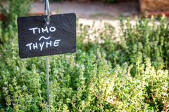 Thyme growing in a garden, labelled in english and italian Stock Image