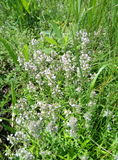 Thyme. Growing in wild field. Famous spice for herbal tea Stock Photography