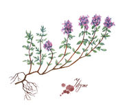 Thyme. Hand drawn watercolor painting Royalty Free Stock Photography