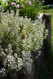 Thyme - healing herb and condiment growing in nature Stock Image
