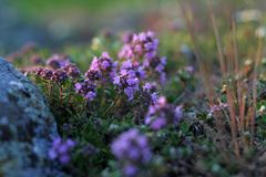 Thyme Herb. A patch of thyme herbs growing on a hill shot before sunset Royalty Free Stock Images