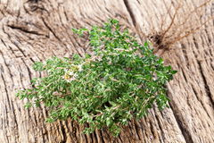 Thyme Herb. Royalty Free Stock Images