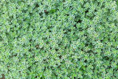 Thyme Herb Background Royalty Free Stock Image
