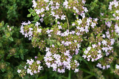 Thyme herb blossom blooming close-up Royalty Free Stock Photos
