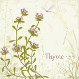 Thyme Royalty Free Stock Photo