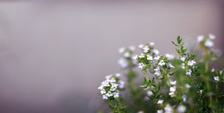Thyme Herb Flowers growing outdoor in a garden, blooming mediterranean herbs for healthy food or organic kitchen, close up royalty free stock photos