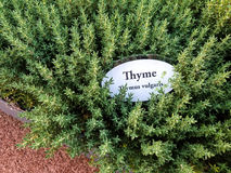Thyme herb garden Royalty Free Stock Images