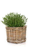 Thyme Herb Plant Stock Photo
