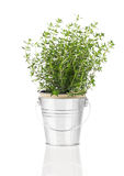 Thyme herb plant growing in a distressed pewter pot Royalty Free Stock Photos