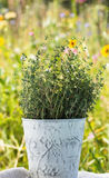 Thyme herb plant Stock Images