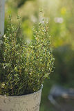Thyme herb plant in pot Royalty Free Stock Image