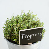 Thyme herb in a planter with chalkboard with its name in Latin, square Stock Image