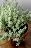 Thyme herb. In a pot on a wooden table Stock Images