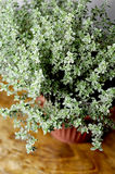 Thyme herb Stock Photo