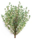 Thyme herb. royalty free stock photos