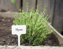 Free Thyme Herb With Label In The Garden Royalty Free Stock Photography - 164621137