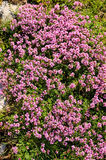 Thyme herbs with pink flowers Royalty Free Stock Photography