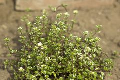 Thyme in a herbs spiral royalty free stock photography