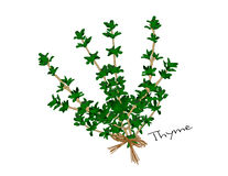 Thyme. An illustration of a bunch of bright green thyme tied with a raffia bow Stock Images