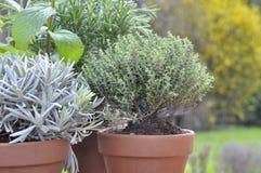 Thyme ingemaakt in tuin stock fotografie