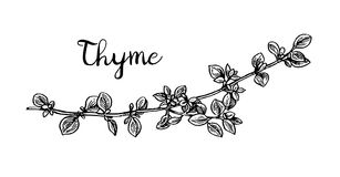 Thyme ink sketch. Isolated on white background. Hand drawn vector illustration. Retro style Royalty Free Stock Photography