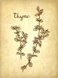 Thyme ink sketch. On old paper background. Hand drawn vector illustration. Retro style Royalty Free Stock Photography