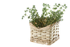 Thyme Isolated Royalty Free Stock Image