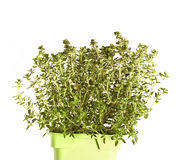 Thyme isolated on white Stock Images