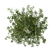 Thyme isolated on white Royalty Free Stock Images