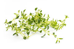 Thyme. Royalty Free Stock Photos