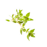 Thyme isolated Royalty Free Stock Photos