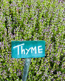Thyme in kitchen garden. Blooming Thyme, an herb staple of the kitchen garden Royalty Free Stock Image