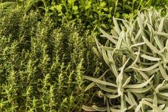Thyme, lavendel, orego Royalty-vrije Stock Afbeelding