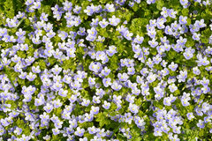 Thyme Leaved Bluets Stock Photos